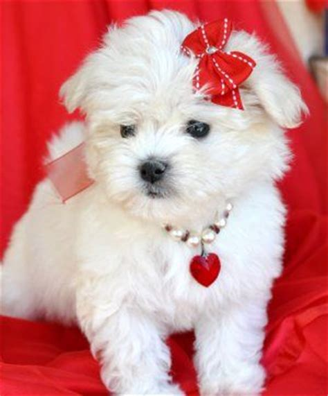 white teacup yorkies for sale day gifts bows and puppies on