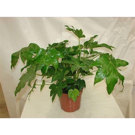 piante sempreverdi per terrazzo piante sempreverdi da terrazzo piante da terrazzo