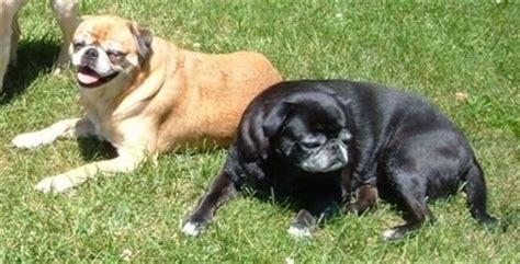 japanese pug japug breed information and pictures