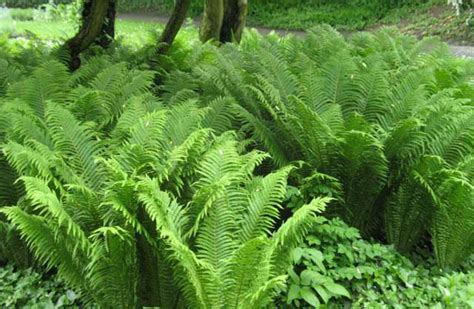 ostrich feather l shade matteuccia struthiopteris ostrich fern