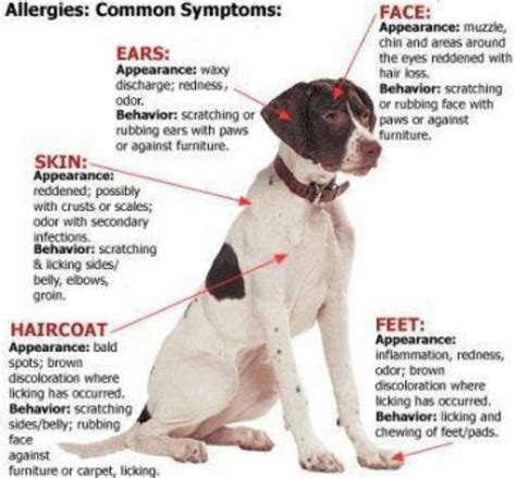 can dogs allergies aimee s pet health journal allergies common symptoms