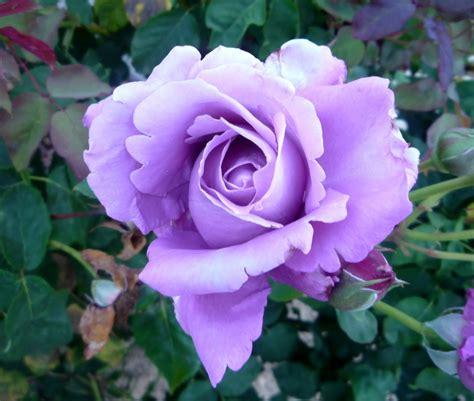 imagenes de rosas moradas wallpapers valencia jardines del r 237 o turia rosaleda
