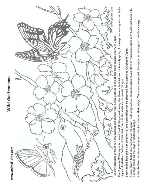 cherry blossom coloring pages cherry blossom coloring page coloring home