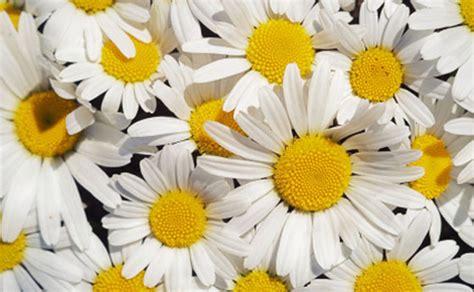 margherite in vaso fiori da balcone margherite in vaso i consigli per