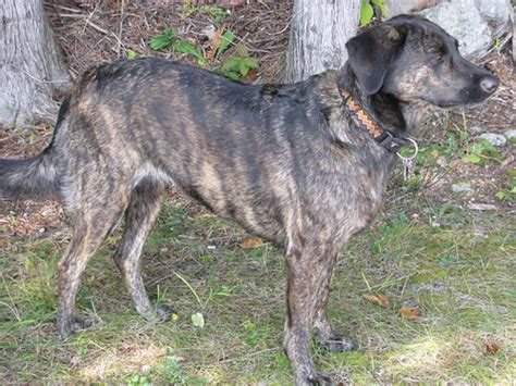 treeing tennessee brindle puppy treeing tennessee brindle breed information pictures breeds breeds picture