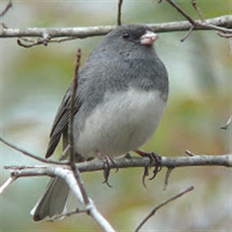 wild birds unlimited what do dark eyed juncos eat