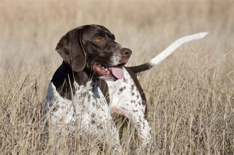 pointer breeds pointer history personality appearance health and pictures
