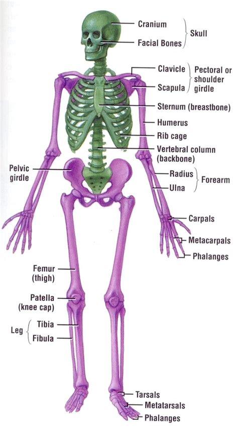 human bone diagram diagram human skeleton diagram labeled for