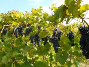 growing grapes for home use yard and garden university of minnesota extension