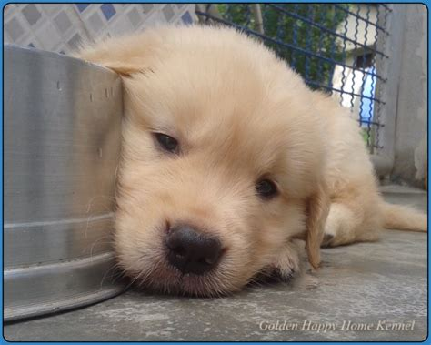 golden retriever venda filhote golden retriever pedigree cbkc microchipados clasf