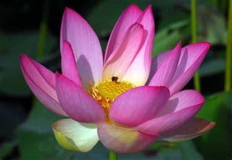 significato ha il fiore di loto quale fiore ha il significato di incondizionato