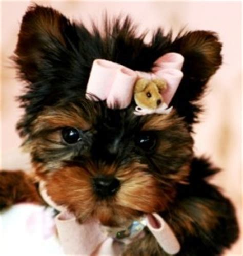 free yorkie puppies in tn pets chattanooga tn free classified ads