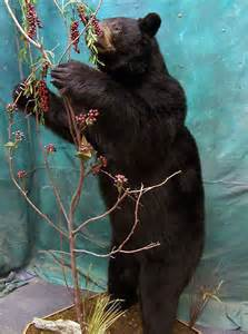 Bear Rug Taxidermy Prices Rugs Ideas