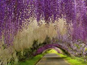 Flower Garden Japan Wisteria Tunnel Kawachi Fuji Garden Pixdaus
