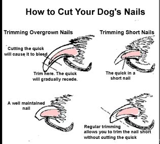 how to trim a dogs nails using nail clippers for trimming nails miniature schnauzer australia