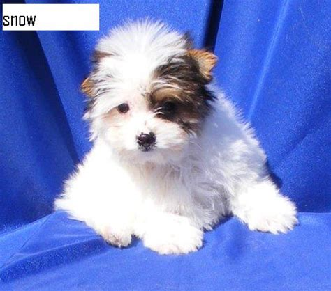 white teacup yorkies sale adorable white yorkie puppies for sale dogs www whynotad