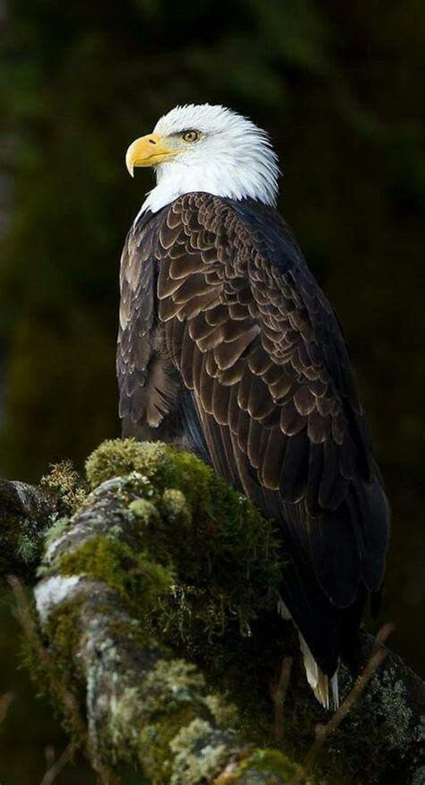 bald and beautiful archikish prism 90 best wolf eagle images on bald eagles