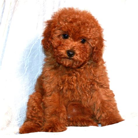 teddy cut standard poodle teddy cut dogs in our photo