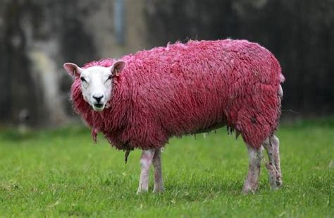 Sheep Pink giro d italia preview whatever happened to all the heroes the massif central