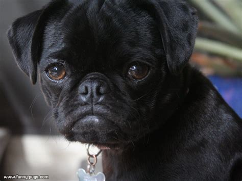 photos of black pugs the black pug puppy 171 pugs cutest pug photos and funniest