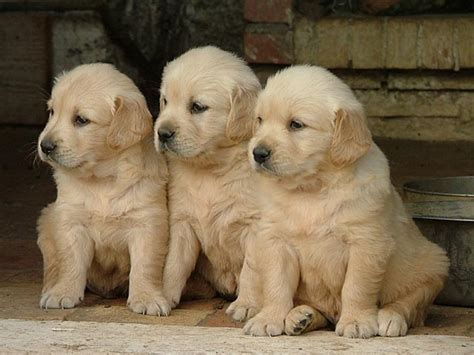 golden retriever news cuccioli golden retriever roma news