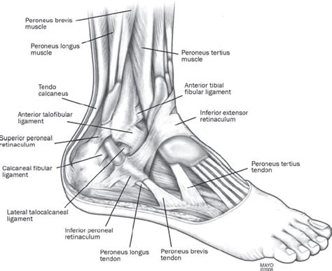 foot diagram ankle joint ligaments anatomy human anatomy diagram