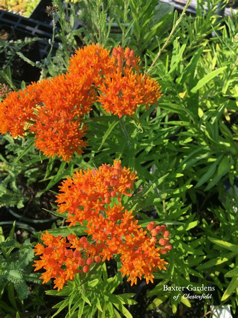 2017 perennial plant of the year asclepias tuberosa baxter gardens