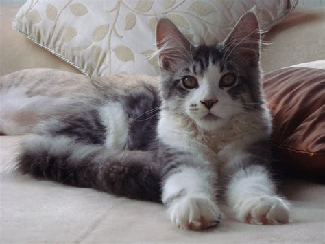 maine coon kittens bay area new zealand cats for sale adoption buy sell adpost classifieds gt new zealand gt page 5