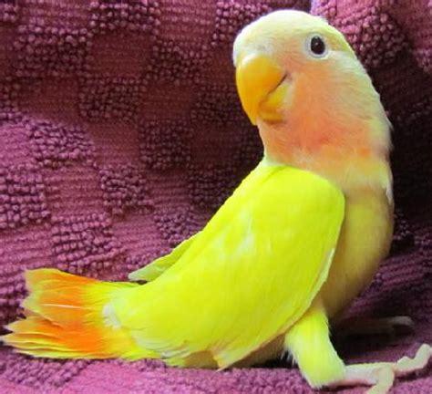 Lovebird Lutino Opaline faced handfed lovebirds
