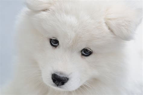 Do Samoyed Dogs Shed by Do Samoyed Dogs Shed Hair 100 Images What Time Of Year