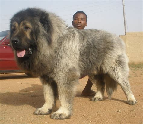 caucasian shepherd puppy caucasian shepherd facts pictures puppies temperament breeders price