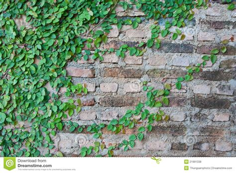 vine growing on a brick wall royalty free stock photos image 21991338
