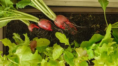 Fensterbrett Garten by G 228 Rtnern Ohne Garten Bio G 228 Rtnern Am Fensterbrett