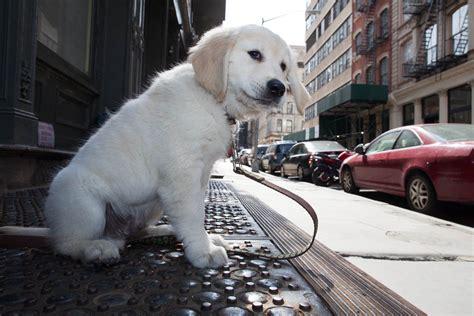 puppy city golden retriever puppy in new york