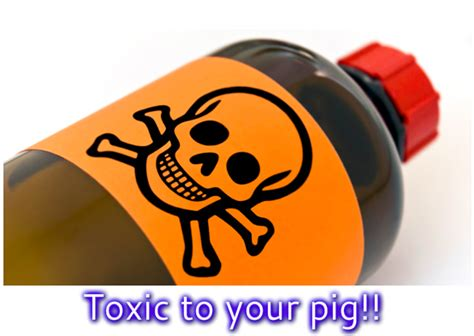 vomiting when to call the vet items known to be toxic to your mini pig mini pig info