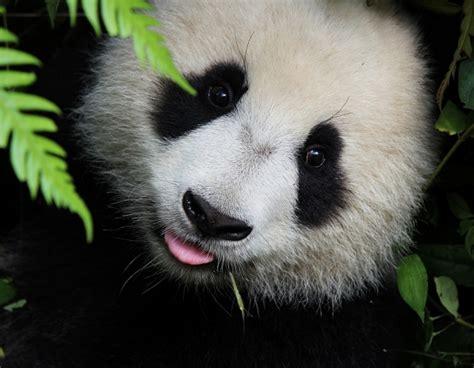 libro oso panda oso panda datos que no sab 237 as sobre los osos pandas