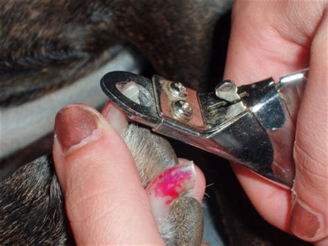 cutting puppy nails clipping nails