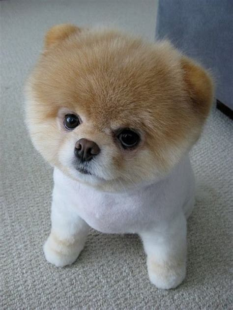 human hair dog cut pics 12 best dog hair cuts images on pinterest humorous