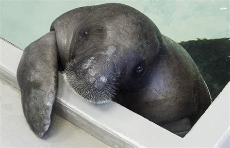 Manatee Records Happy 67th Birthday To Snooty The World S Oldest Living Manatee Guinness World Records