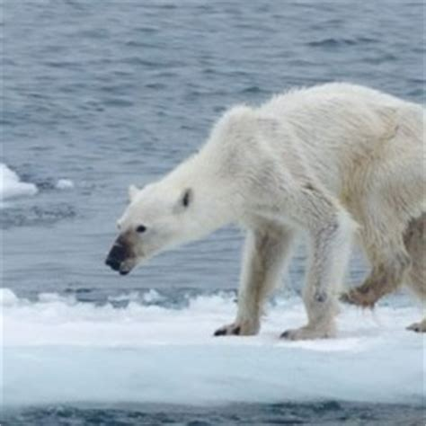 photographer  horribly thin polar bear hopes  inspire climate change fight