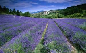 lavender fields provence france xcitefun net