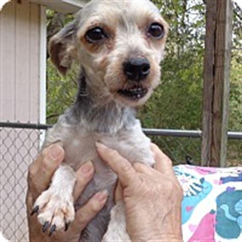 yorkie house tn crump tn yorkie terrier meet heidi a for adoption