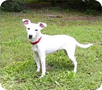 Snowy | Adopted Dog | Mocksville, NC | Rat Terrier/Whippet Mix