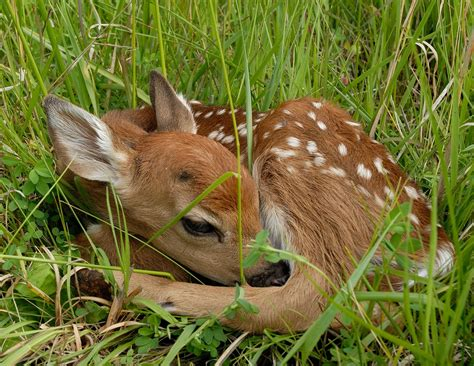 fawn images deer chesapeake ohio canal national historical park u