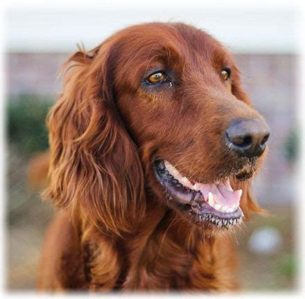 irish setter dog characteristics irish setter read about temperament and personality