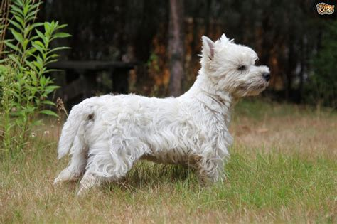 west highland terrier dog breed information buying advice