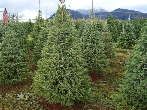 omeka ctl white spruce christmas tree farm