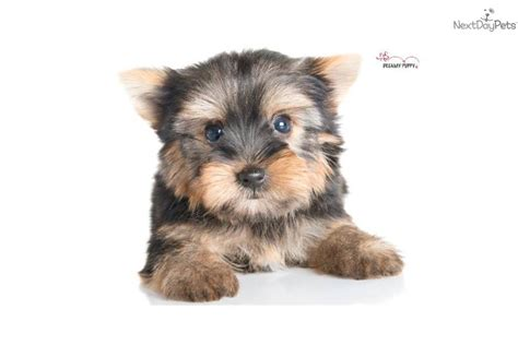 yorkie shire yorkie shire puppy breeds picture