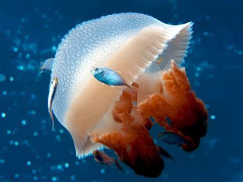 quallen le mosaic jellyfish