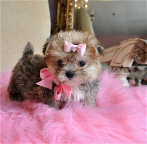 yorkie peekapoo puppies teacup puppies for sale florida puppies for sale ta puppies for sale orlando